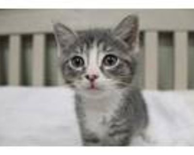 Cupcake, Domestic Shorthair For Adoption In Chestertown, Maryland