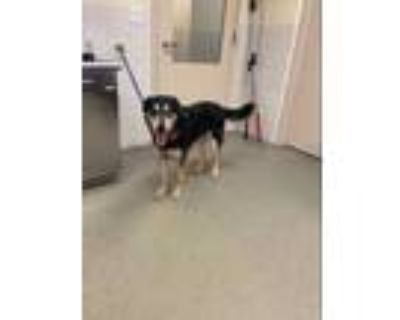 Adopt 47931088 a Black Shepherd (Unknown Type) / Husky / Mixed dog in