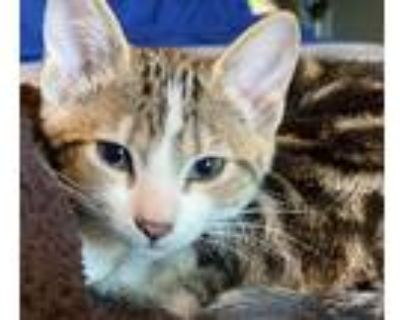 Adopt Grace Shelby a Domestic Shorthair / Mixed cat in Wheaton, IL (31514906)