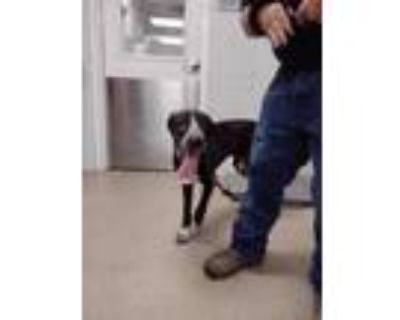 Adopt Ash a Brown/Chocolate Labrador Retriever / Bloodhound / Mixed dog in Fort