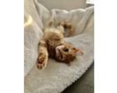 Adopt Thing Two a Orange or Red Tabby Domestic Shorthair cat in Lorton