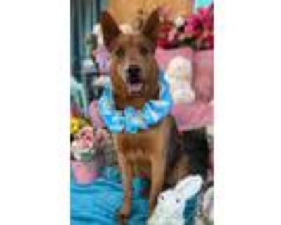 Adopt A Perfect Therapy dog contender BEAU a Shepherd