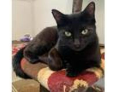 Adopt Moon Shadow a All Black Domestic Shorthair / Mixed cat in Cumming