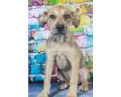 Adopt Browni a Catahoula Leopard Dog, Mixed Breed