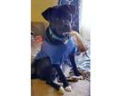 Adopt Jeckle a Labrador Retriever, Boxer