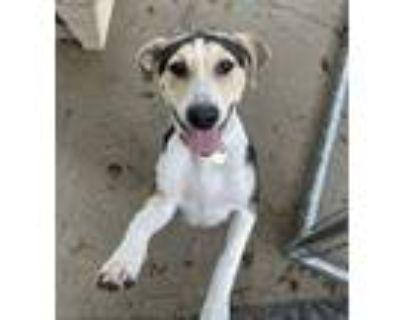 Adopt Sage a Labrador Retriever, Hound