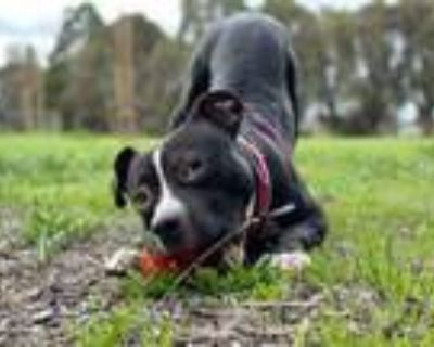 Adopt Barbaloot a Staffordshire Bull Terrier, American Staffordshire Terrier