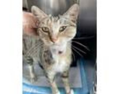 Adopt *CHINCHILLA a Brown Tabby Domestic Shorthair / Mixed (short coat) cat in