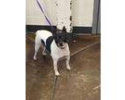 Adopt charolette a White Miniature Pinscher / Mixed dog in Cincinnati