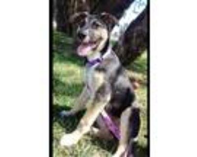 Adopt Stella a Basenji, Labrador Retriever