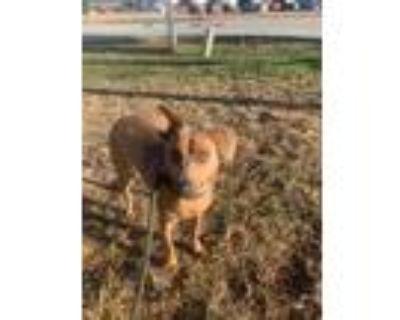 Adopt Lou a Red/Golden/Orange/Chestnut Mixed Breed (Medium) / Vizsla / Mixed dog