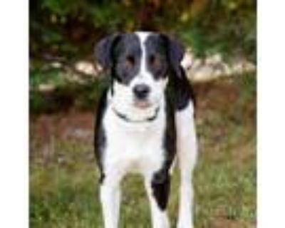 Adopt Hydie 10914 a Black Hound (Unknown Type) / Labrador Retriever / Mixed dog