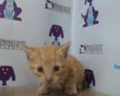 Adopt *CARL a Orange or Red Tabby Domestic Shorthair / Mixed (short coat) cat in