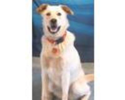 Adopt 159464 a Tan/Yellow/Fawn Labrador Retriever / Husky / Mixed dog in