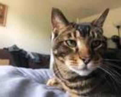 Adopt Munch a Domestic Short Hair, Bengal