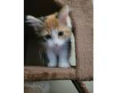 Adopt Pebbles a Calico or Dilute Calico Domestic Longhair / Mixed (long coat)
