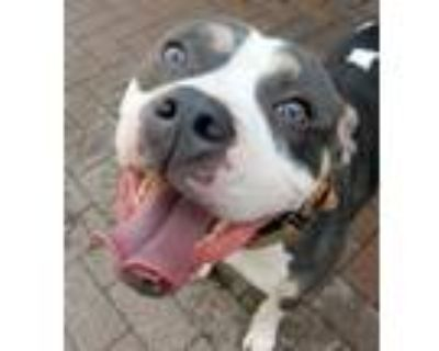 Adopt Bane *Loves to Run* a Gray/Silver/Salt & Pepper - with White Staffordshire