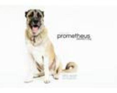 Adopt PROMETHEUS a Caucasian Sheepdog / Caucasian Ovtcharka, Neapolitan Mastiff