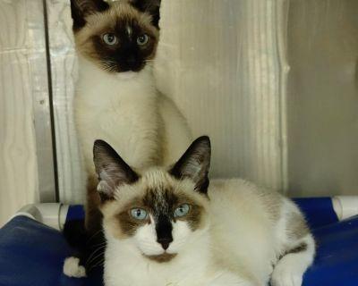 Cassette - Domestic Shorthair/Siamese - Kitten Male