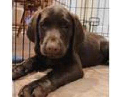 Adopt Buster Brown a Labrador Retriever / Mixed dog in Potomac, MD (31521283)