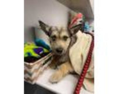 Adopt Indigo a Tan/Yellow/Fawn Terrier (Unknown Type, Small) / Mixed dog in