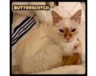 Adopt Butterscotch - Foster / 2021 a Domestic Long Hair