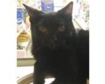 Adopt Kerchak a All Black Domestic Shorthair (short coat) cat in Los Angeles
