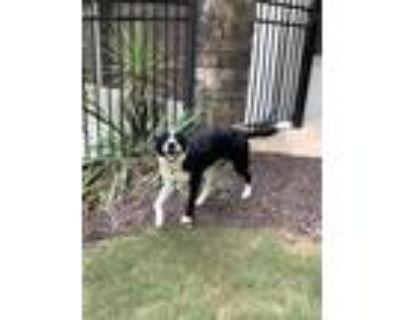 Adopt Koda a Black - with White Border Collie dog in Milton, GA (32112542)