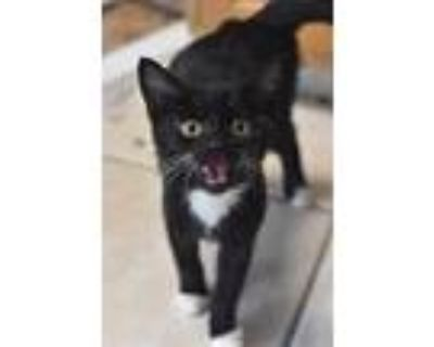 Adopt Pie (Chocolate) a Domestic Shorthair / Mixed (short coat) cat in Fort