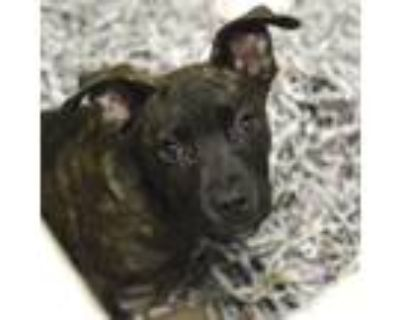 Adopt Fort Collins a Brown/Chocolate American Pit Bull Terrier / Mixed dog in