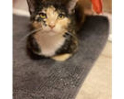 Adopt Cayenne a Tortoiseshell, Domestic Short Hair
