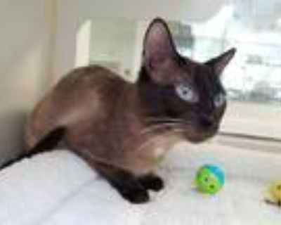 Adopt HIPPOGRIFF a Brown or Chocolate (Mostly) Siamese / Mixed (short coat) cat
