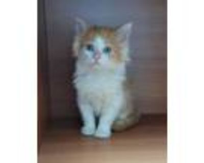 Adopt Pleco a White Domestic Shorthair / Domestic Shorthair / Mixed cat in