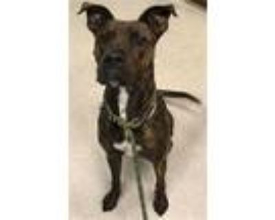 Adopt ZEBRA a Brindle Boxer / Mixed dog in Indianapolis, IN (32026689)