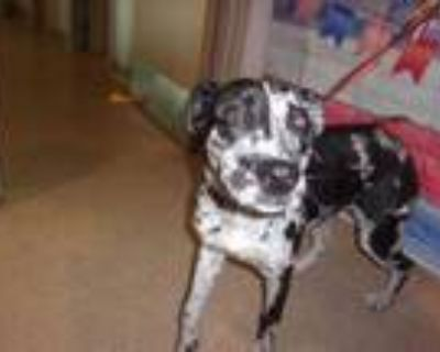 Adopt COOKIE a White Catahoula Leopard Dog / German Shepherd Dog / Mixed dog in