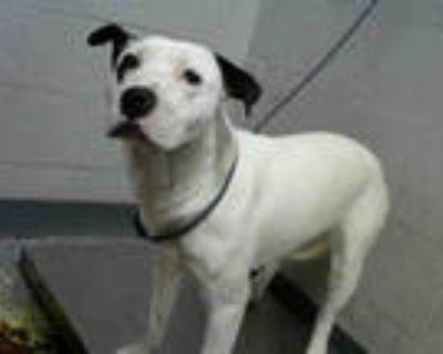 Adopt TINA FEY a White - with Black Labrador Retriever / Mixed dog in Atlanta