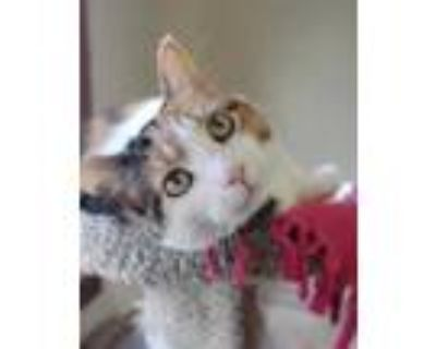 Adopt Willow 3 a White Domestic Shorthair / Domestic Shorthair / Mixed cat in
