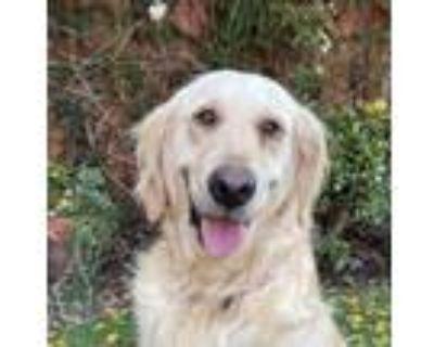 Adopt Lila a Golden Retriever