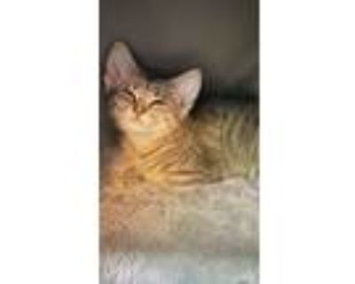 Adopt Smiley a Gray, Blue or Silver Tabby American Shorthair / Mixed (short