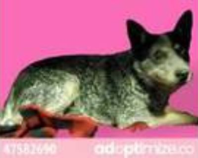 Adopt 47582690 a Black Blue Heeler / Mixed dog in El Paso, TX (31161966)