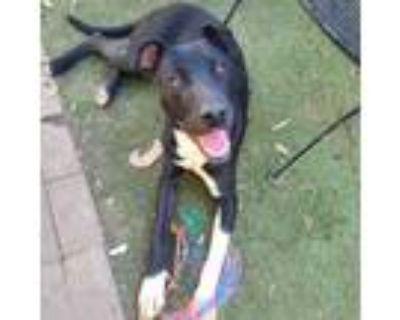 Adopt Chelsea a Staffordshire Bull Terrier, Labrador Retriever