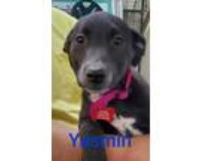 Adopt Yasmin a Black - with White Shepherd (Unknown Type) / Mixed dog in West