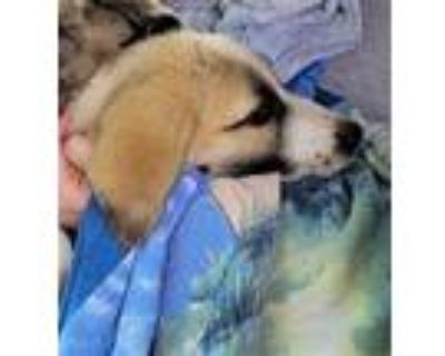 Adopt MAVERICK a Tan/Yellow/Fawn - with White Great Pyrenees / Mixed dog in