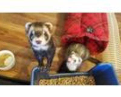 Adopt Willow and Theo a Ferret