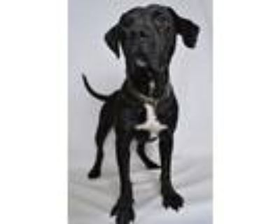 Adopt Chevy a Black - with White Mixed Breed (Medium) dog in Jefferson City