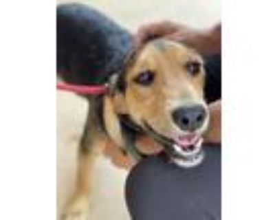 Adopt Brillo a Terrier, Beagle