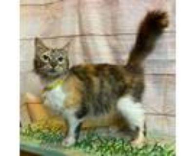 Adopt 48158446 a All Black Domestic Mediumhair / Domestic Shorthair / Mixed cat