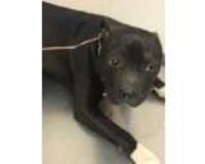 Adopt 48215561 a Black American Pit Bull Terrier / Boxer / Mixed dog in Los