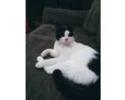 Adopt James a Black & White or Tuxedo Domestic Shorthair / Mixed cat in