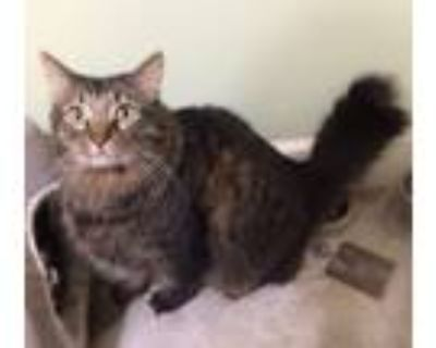 Adopt Roscoe a Maine Coon